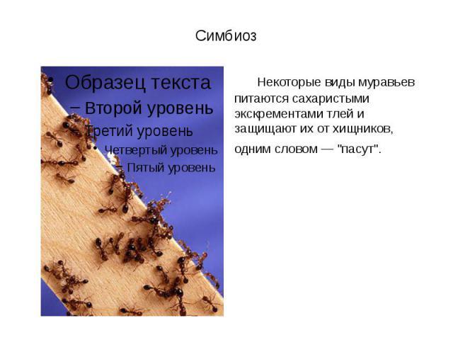 """Симбиоз Некоторые виды муравьев питаются сахаристыми экскрементами тлей и защищают их от хищников, одним словом — """"пасут""""."""