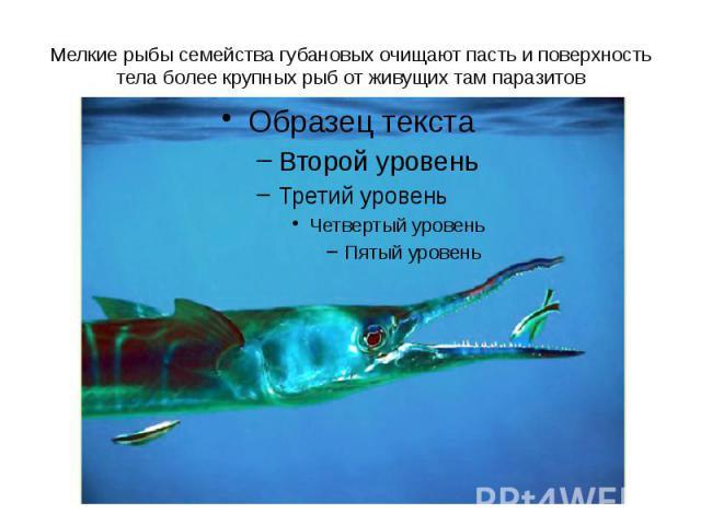 Мелкие рыбы семейства губановых очищают пасть и поверхность тела более крупных рыб от живущих там паразитов