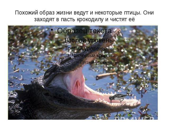Похожий образ жизни ведут и некоторые птицы. Они заходят в пасть крокодилу и чистят её