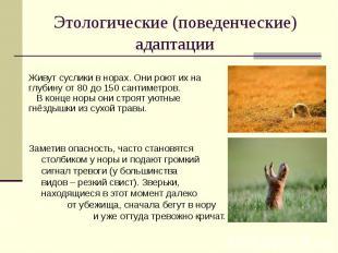 Этологические (поведенческие) адаптации Живут суслики в норах. Они роют их на гл