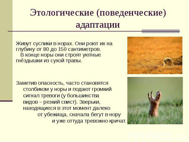 Этологические (поведенческие) адаптации Живут суслики в норах. Они роют их на глубину от 80 до 150 сантиметров. В конце норы они строят уютные гнёздышки из сухой травы.