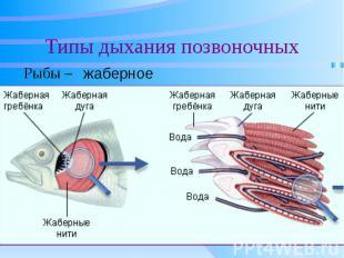 Типы дыхания позвоночных Рыбы –