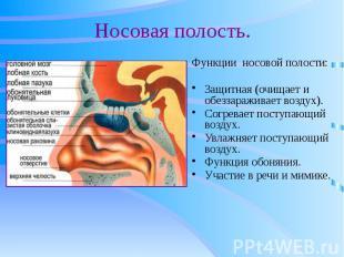 Носовая полость. Функции носовой полости: Защитная (очищает и обеззараживает воз