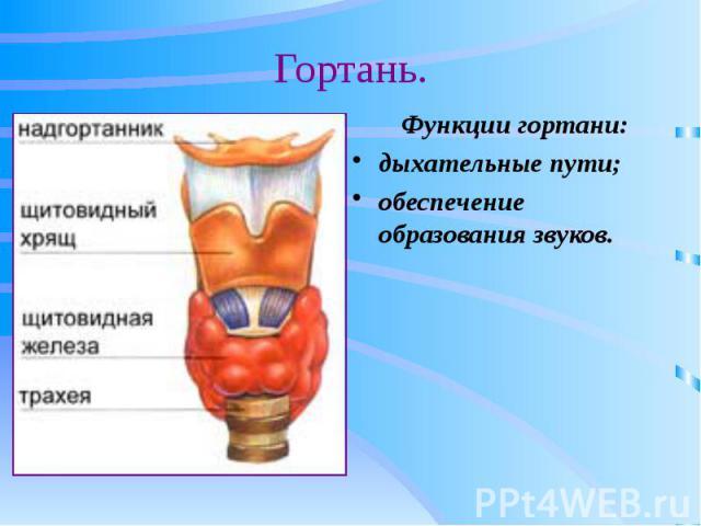 Гортань. Функции гортани: дыхательные пути; обеспечение образования звуков.