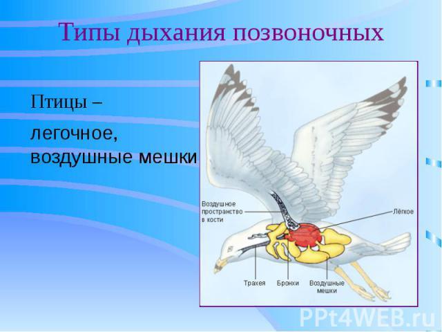 Типы дыхания позвоночных Птицы –
