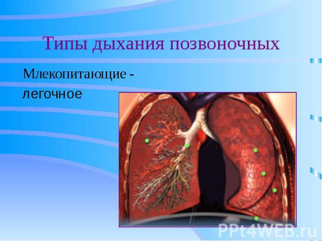 Типы дыхания позвоночных Млекопитающие -