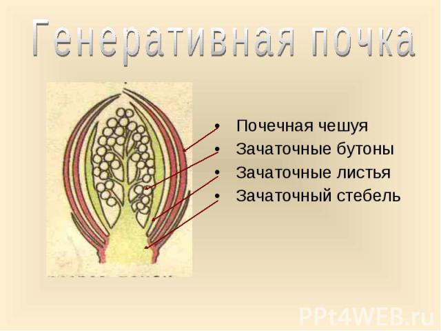 Почечная чешуя Почечная чешуя Зачаточные бутоны Зачаточные листья Зачаточный стебель