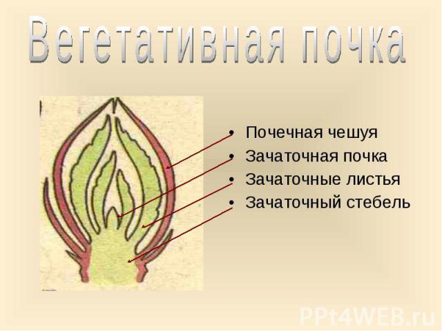 Почечная чешуя Почечная чешуя Зачаточная почка Зачаточные листья Зачаточный стебель