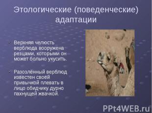 Этологические (поведенческие) адаптации Верхняя челюсть верблюда вооружена резца