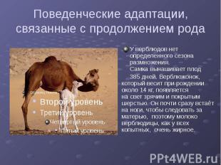 Поведенческие адаптации, связанные с продолжением рода У верблюдов нет определен
