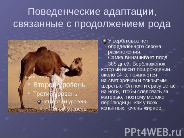 Поведенческие адаптации, связанные с продолжением рода У верблюдов нет определенного сезона размножения. Самка вынашивает плод 385 дней. Верблюжонок, который весит при рождении около 14 кг, появляется на свет зрячим и покрытым шерстью. Он почти сраз…