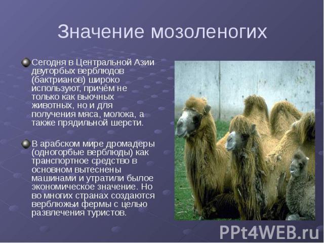 Значение мозоленогих Сегодня в Центральной Азии двугорбых верблюдов (бактрианов) широко используют, причём не только как вьючных животных, но и для получения мяса, молока, а также прядильной шерсти. В арабском мире дромадеры (одногорбые верблюды) ка…