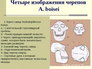 Четыре изображения черепов A. boisei 1.Череп самца Australopithecus boisei. а -