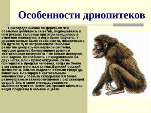 Особенности дриопитеков При передвижении по деревьям эти обезьяны цеплялись за в