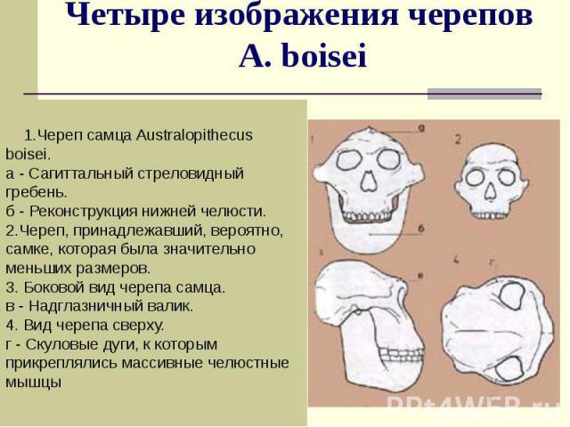 Четыре изображения черепов A. boisei 1.Череп самца Australopithecus boisei. а - Сагиттальный стреловидный гребень. б - Реконструкция нижней челюсти. 2.Череп, принадлежавший, вероятно, самке, которая была значительно меньших размеров. 3. Боковой вид …