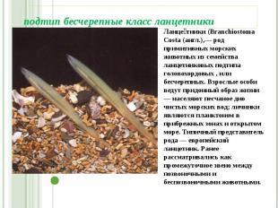 подтип бесчерепные класс ланцетники Ланце тники (Branchiostoma Costa (англ.),— р