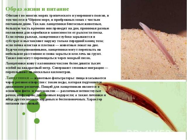Образ жизни и питание Обитают во многих морях тропического и умеренного поясов, в том числе и в Чёрном море, в прибрежных зонах с чистым песчаным дном. Так как ланцетники бентосные животные, большую часть времени они проводят на дне, принимая разные…