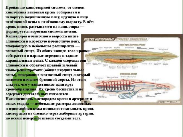 Пройдя по капиллярной системе, от стенок кишечника венозная кровь собирается в непарную подкишечную вену, идущую в виде печёночной вены к печёночному выросту. В нём кровь вновь рассыпается на капилляры — формируется воротная система печени. Капилляр…