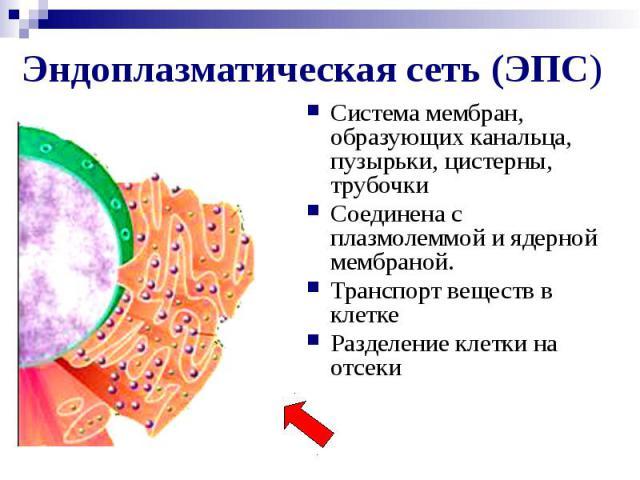 Эндоплазматическая сеть (ЭПС) Система мембран, образующих канальца, пузырьки, цистерны, трубочки Соединена с плазмолеммой и ядерной мембраной. Транспорт веществ в клетке Разделение клетки на отсеки