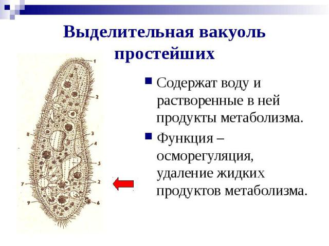 Выделительная вакуоль простейших Содержат воду и растворенные в ней продукты метаболизма. Функция – осморегуляция, удаление жидких продуктов метаболизма.