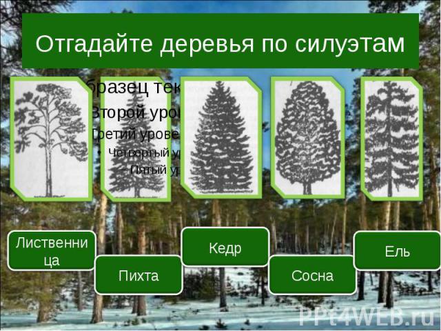 Отгадайте деревья по силуэтам