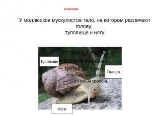 У моллюсков мускулистое тело, на котором различают голову, туловище и ногу Строе