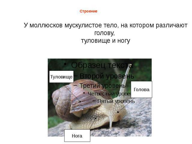 У моллюсков мускулистое тело, на котором различают голову, туловище и ногу Строение