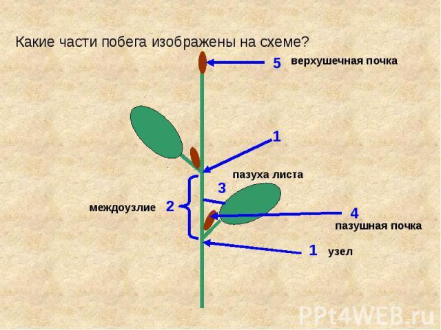 Какие части побега изображены на схеме?
