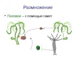 Размножение Половое – с помощью гамет