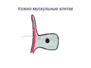 Кожно-мускульные клетки
