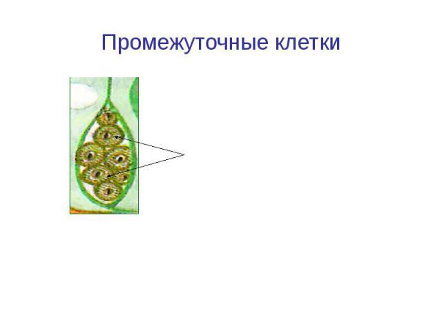 Промежуточные клетки