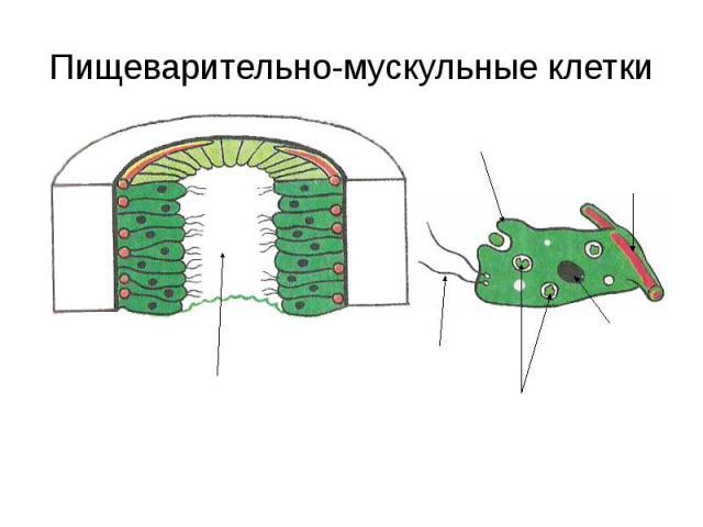 Пищеварительно-мускульные клетки