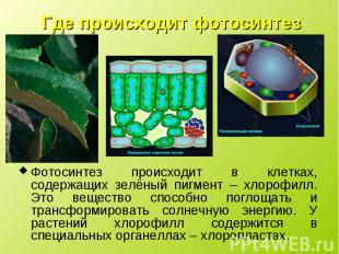Фотосинтез происходит в клетках, содержащих зелёный пигмент – хлорофилл. Это вещ