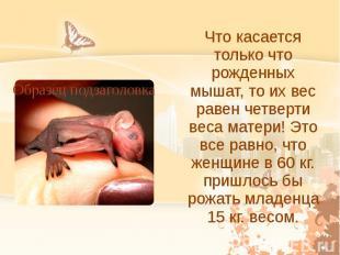 Что касается только что рожденных мышат, то их вес равен четверти веса матери! Э