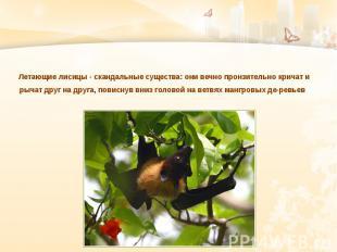 Летающие лисицы - скандальные существа: они вечно пронзительно кричат и рычат др