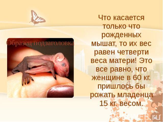 Что касается только что рожденных мышат, то их вес равен четверти веса матери! Это все равно, что женщине в 60 кг. пришлось бы рожать младенца 15 кг. весом.