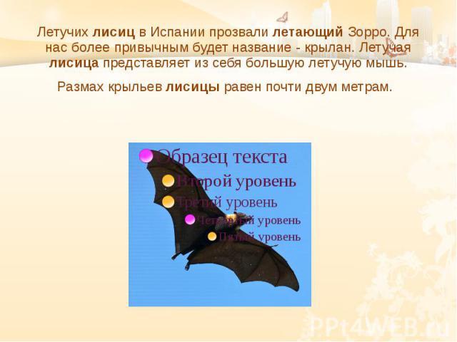 Летучих лисиц в Испании прозвали летающий Зорро. Для нас более привычным будет название - крылан. Летучая лисица представляет из себя большую летучую мышь. Размах крыльев лисицы равен почти двум метрам.