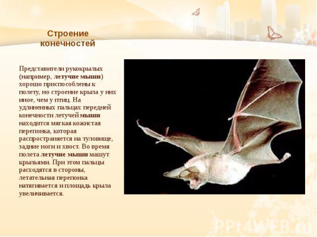 Строение конечностей Представители рукокрылых (например, летучие мыши) хорошо приспособлены к полету, но строение крыла у них иное, чем у птиц. На удлиненных пальцах передней конечности летучей мыши находится мягкая кожистая перепонка, которая распр…