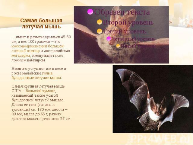 Самая большая летучая мышь ... имеет в размахе крыльев 45-50 см, а вес 100 граммов – это южноамериканский большой ложный вампир и австралийская мегадерма, именуемая также ложным вампиром. Немного уступают им в весе и росте малайские голые бульдоговы…
