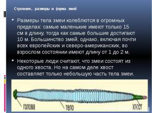Строение, размеры и форма змей Размеры тела змеи колеблются в огромных пределах: