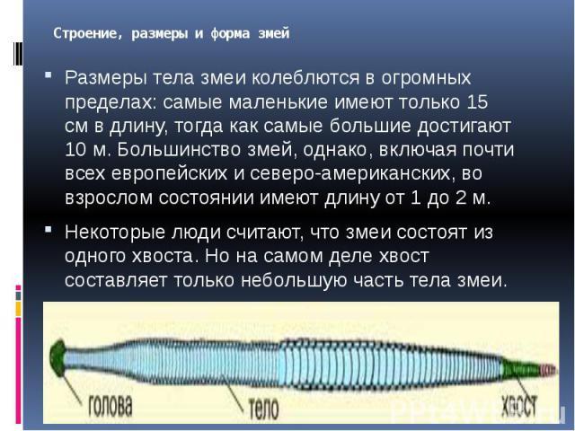 Строение, размеры и форма змей Размеры тела змеи колеблются в огромных пределах: самые маленькие имеют только 15 см в длину, тогда как самые большие достигают 10 м. Большинство змей, однако, включая почти всех европейских и северо-американских, во в…