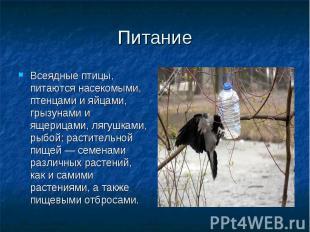 Всеядные птицы, питаются насекомыми, птенцами и яйцами, грызунами и ящерицами, л