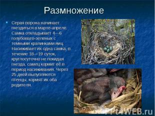 Серая ворона начинает гнездиться в марте-апреле. Самка откладывает 4—6 голубоват