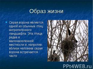 Серая ворона является одной из обычных птиц антропогенного ландшафта. Эта птица