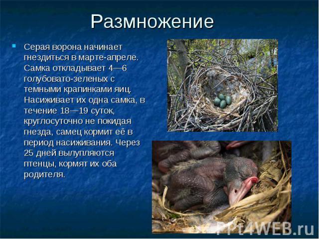 Серая ворона начинает гнездиться в марте-апреле. Самка откладывает 4—6 голубовато-зеленых с темными крапинками яиц. Насиживает их одна самка, в течение 18—19 суток, круглосуточно не покидая гнезда, самец кормит её в период насиживания. Через 25 дней…