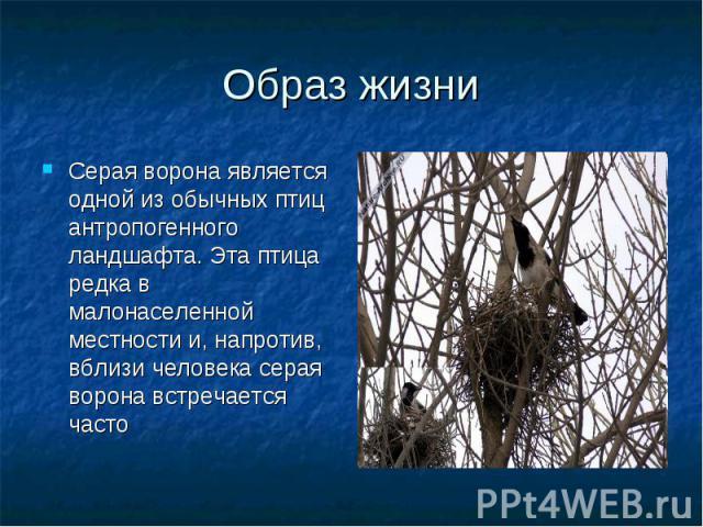 Серая ворона является одной из обычных птиц антропогенного ландшафта. Эта птица редка в малонаселенной местности и, напротив, вблизи человека серая ворона встречается часто Серая ворона является одной из обычных птиц антропогенного ландшафта. Эта пт…
