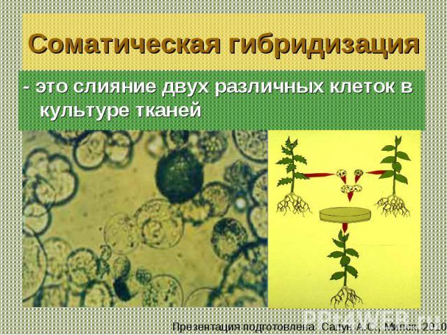 - это слияние двух различных клеток в культуре тканей - это слияние двух различных клеток в культуре тканей