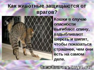 Кошки в случае опасности выгибают спину, вздыбливают шерсть и шипят, чтобы показ