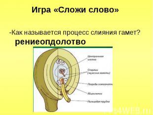 -Как называется процесс слияния гамет? рениеопдолотво -Как называется процесс сл