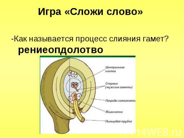 -Как называется процесс слияния гамет? рениеопдолотво -Как называется процесс слияния гамет? рениеопдолотво
